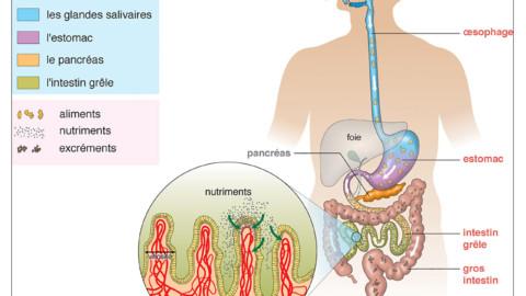 2.4.Mon microbiote : un allié de choix à chouchouter